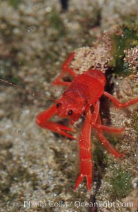 Pelagic red tuna crab, washed ashore in tidepool, Pleuroncodes planipes, Ocean Beach, California