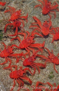 Pelagic red tuna crabs, washed ashore in tidepool, Pleuroncodes planipes, Ocean Beach, California