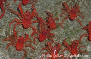 Pelagic red tuna crabs, washed ashore in tidepool, Pleuroncodes planipes, San Diego, California