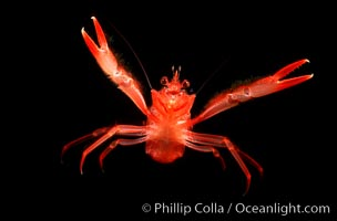 Pelagic red tuna crab, open ocean, Pleuroncodes planipes, copyright Phillip Colla Natural History Photography, www.oceanlight.com, image #02247, all rights reserved worldwide.