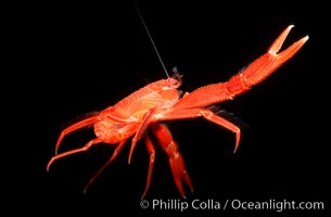 Pelagic red tuna crab, open ocean, Pleuroncodes planipes, copyright Phillip Colla Natural History Photography, www.oceanlight.com, image #02249, all rights reserved worldwide.