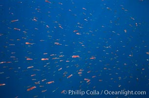 Pelagic red tuna crabs, Coronado Islands., Pleuroncodes planipes,  Copyright Phillip Colla, image #02353, all rights reserved worldwide.