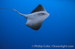 Pelagic stingray, open ocean, Pteroplatytrygon violacea, copyright Phillip Colla Natural History Photography, www.oceanlight.com, image #02095, all rights reserved worldwide.