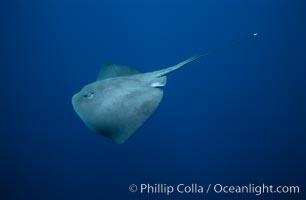 Pelagic stingray, open ocean, Pteroplatytrygon violacea, San Diego, California