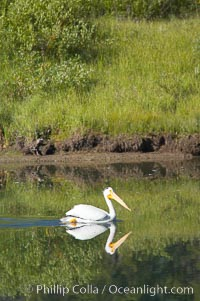 White pelican on the Snake River, Pelecanus erythrorhynchos, Grand Teton National Park, Wyoming