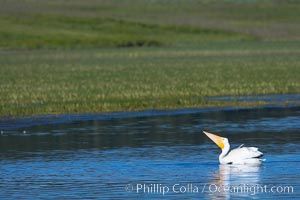 White pelican on the Yellowstone River, Pelecanus erythrorhynchos, Hayden Valley, Yellowstone National Park, Wyoming
