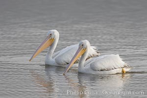 White pelicans. San Elijo Lagoon, Encinitas, California, USA, Pelecanus erythrorhynchos, natural history stock photograph, photo id 15723