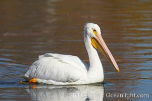 White pelican. Santee Lakes, Santee, California, USA, Pelecanus erythrorhynchos, natural history stock photograph, photo id 20107