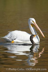 White pelican. Santee Lakes, Santee, California, USA, Pelecanus erythrorhynchos, natural history stock photograph, photo id 20110
