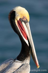 Brown pelican.  This large seabird has a wingspan over 7 feet wide. The California race of the brown pelican holds endangered species status, due largely to predation in the early 1900s and to decades of poor reproduction caused by DDT poisoning.  In winter months, breeding adults assume a dramatic plumage with brown neck, yellow and white head and bright red gular throat pouch, Pelecanus occidentalis, Pelecanus occidentalis californicus, La Jolla