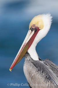 Brown pelican, adult winter non-breeding plumage showing white hindneck and red gular throat pouch..  This large seabird has a wingspan over 7 feet wide. The California race of the brown pelican holds endangered species status, due largely to predation in the early 1900s and to decades of poor reproduction caused by DDT poisoning, Pelecanus occidentalis, Pelecanus occidentalis californicus, La Jolla