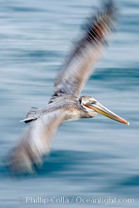 Brown pelican in flight.  The wingspan of the brown pelican is over 7 feet wide. Long exposure shows motion as a blur. The California race of the brown pelican holds endangered species status.  In winter months, breeding adults assume a dramatic plumage with dark brown hindneck and bright red gular throat pouch., Pelecanus occidentalis, Pelecanus occidentalis californicus,  Copyright Phillip Colla, image #15134, all rights reserved worldwide.