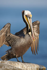 Brown pelican.  This large seabird has a wingspan over 7 feet wide. The California race of the brown pelican holds endangered species status, due largely to predation in the early 1900s and to decades of poor reproduction caused by DDT poisoning.  In winter months, breeding adults assume a dramatic plumage with brown neck, yellow and white head and bright red gular throat pouch., Pelecanus occidentalis, Pelecanus occidentalis californicus,  Copyright Phillip Colla, image #15140, all rights reserved worldwide.