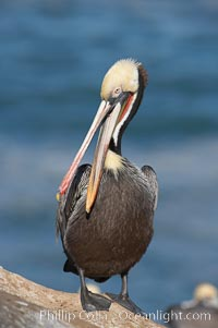 Brown pelican preening.  After wiping its long beak on the uropygial gland near the base of its tail, the pelican spreads the preen oil on feathers about its body, helping to keep them water resistant, an important protection for a bird that spends much of its life diving in the ocean for prey, Pelecanus occidentalis, Pelecanus occidentalis californicus, La Jolla, California