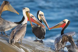 Brown pelicans, males in breeding plumage socializing, using bills to intimidate one another, Pelecanus occidentalis, Pelecanus occidentalis californicus, La Jolla, California