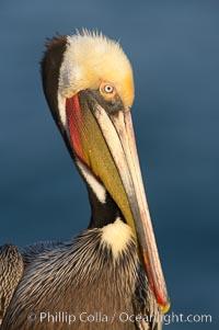 California brown pelican portrait, winter mating plumage, Pelecanus occidentalis, Pelecanus occidentalis californicus, La Jolla