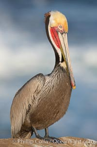 California brown pelican portrait, winter mating plumage, bright red gular pouch and dark brown hindneck. La Jolla, California, USA, Pelecanus occidentalis, Pelecanus occidentalis californicus, natural history stock photograph, photo id 18369
