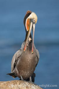 Brown pelican preening, showing bright red gular pouch and dark brown hindneck plumage of breeding adults.  After wiping its long beak on the uropygial gland near the base of its tail, the pelican spreads the preen oil on feathers about its body, helping to keep them water resistant, an important protection for a bird that spends much of its life diving in the ocean for prey, Pelecanus occidentalis, Pelecanus occidentalis californicus, La Jolla, California