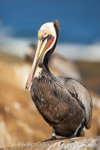 California brown pelican wearing identification tag, winter mating plumage, Pelecanus occidentalis, Pelecanus occidentalis californicus, La Jolla