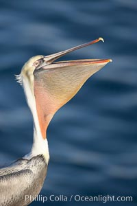 Brown pelican peforming a head throw, in which it raises its long beak toward the sky and stretches its long neck, Pelecanus occidentalis, Pelecanus occidentalis californicus, La Jolla, California