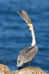 A California brown pelican performs a head throw.  During a bill throw, the pelican arches its neck back, lifting its large bill upward and stretching its throat pouch.  Adult winter non-breeding plumage showing white hindneck and red gular throat pouch, Pelecanus occidentalis, Pelecanus occidentalis californicus, La Jolla