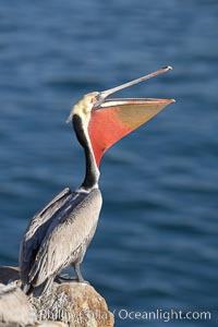 Brown pelican head throw, winter plumage, showing bright red gular pouch and dark brown hindneck plumage of breeding adults.  During a bill throw, the pelican arches its neck back, lifting its large bill upward and stretching its throat pouch, Pelecanus occidentalis, Pelecanus occidentalis californicus, La Jolla, California