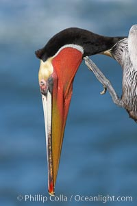 Brown pelican stretching its throat pouch. La Jolla, California, USA, Pelecanus occidentalis, Pelecanus occidentalis californicus, natural history stock photograph, photo id 20299