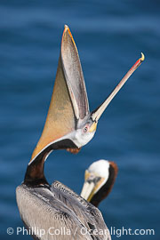 Brown pelican head throw.  During a bill throw, the pelican arches its neck back, lifting its large bill upward and stretching its throat pouch., Pelecanus occidentalis, Pelecanus occidentalis californicus,  Copyright Phillip Colla, image #15131, all rights reserved worldwide.