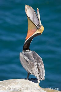 Brown pelican head throw.  During a bill throw, the pelican arches its neck back, lifting its large bill upward and stretching its throat pouch. La Jolla, California, USA, Pelecanus occidentalis, Pelecanus occidentalis californicus, natural history stock photograph, photo id 15147