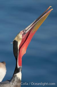 Brown pelican head throw, showing bright red gular pouch and breeding plumage.  During a bill throw, the pelican arches its neck back, lifting its large bill upward and stretching its throat pouch, Pelecanus occidentalis, Pelecanus occidentalis californicus, La Jolla, California