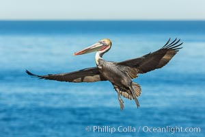 Brown pelican in flight, spreading wings wide to slow in anticipation of landing on seacliffs, Pelecanus occidentalis, Pelecanus occidentalis californicus, La Jolla, California
