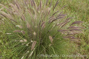 Fountain grass. Carlsbad, California, USA, Pennisetum setaceum, natural history stock photograph, photo id 11376