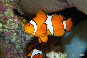 Percula clownfish anemonefish., Amphiprion percula, natural history stock photograph, photo id 13674