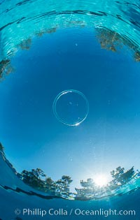 An amazing toroidal wonder, this perfect bubble ring ascends through the water to the surface