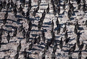 Cormorant colony, Coronado Islands, Mexico, Phalacrocorax, Coronado Islands (Islas Coronado)