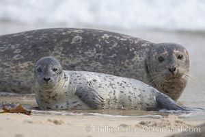 Pacific harbor seal, mother and pup, Phoca vitulina richardsi, La Jolla, California