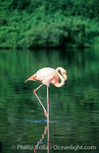 Greater flamingo. Floreana Island, Galapagos Islands, Ecuador, Phoenicopterus ruber, natural history stock photograph, photo id 02277