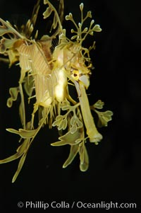 Leafy Seadragon., Phycodurus eques, natural history stock photograph, photo id 07823