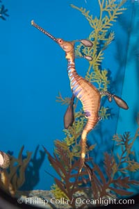 Weedy seadragon, Phyllopteryx taeniolatus