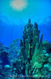 Pillar coral, Dendrogyra cylindrus, Roatan