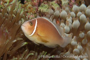 Pink anemonefish., Amphiprion perideraion, natural history stock photograph, photo id 08820