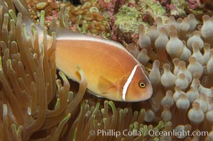 Pink anemonefish, Amphiprion perideraion