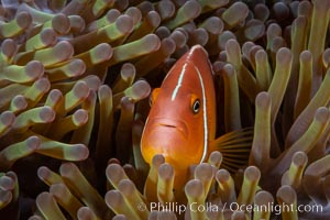 Pink Skunk Anemone Fish, Amphiprion perideraion, Fiji. Fiji, Amphiprion perideraion, natural history stock photograph, photo id 34774