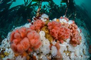 Pink Soft Coral (Gersemia Rubiformis), and Plumose Anemones (Metridium senile) cover the ocean reef, Browning Pass, Vancouver Island, Gersemia rubiformis, Metridium senile