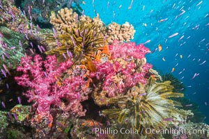 Pink Soft Corals and Yellow Crinoids on Coral Reef, Fiji, Dendronephthya, Pseudanthias, Crinoidea, Namena Marine Reserve, Namena Island