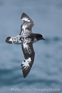 Pintado petrel in flight, Daption capense, Scotia Sea