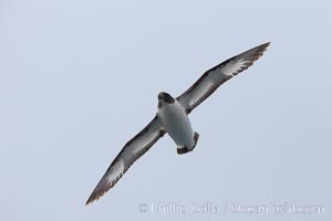 Pintado petrel, in flight, a small open-ocean seabird known for its distinctive black and white coloration, Daption capense