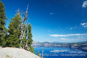 Whitebark pine, Crater Lake, Oregon. Due to harsh, almost constant winds, whitebark pines along the crater rim surrounding Crater Lake are often deformed and stunted, Pinus albicaulis, Crater Lake National Park