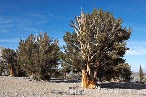Bristlecone pines rising above the arid, dolomite-rich slopes of the White Mountains at 11000-foot elevation. Patriarch Grove, Ancient Bristlecone Pine Forest. White Mountains, Inyo National Forest, California, USA, Pinus longaeva, natural history stock photograph, photo id 17478