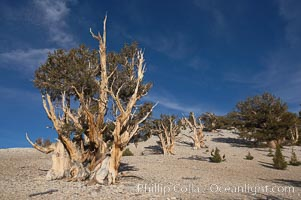 Bristlecone pines rising above the arid, dolomite-rich slopes of the White Mountains at 11000-foot elevation. Patriarch Grove, Ancient Bristlecone Pine Forest, Pinus longaeva, White Mountains, Inyo National Forest